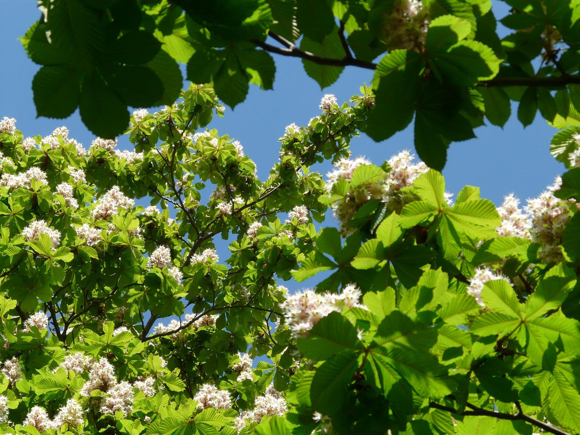 White Chestnut - Bach To Me